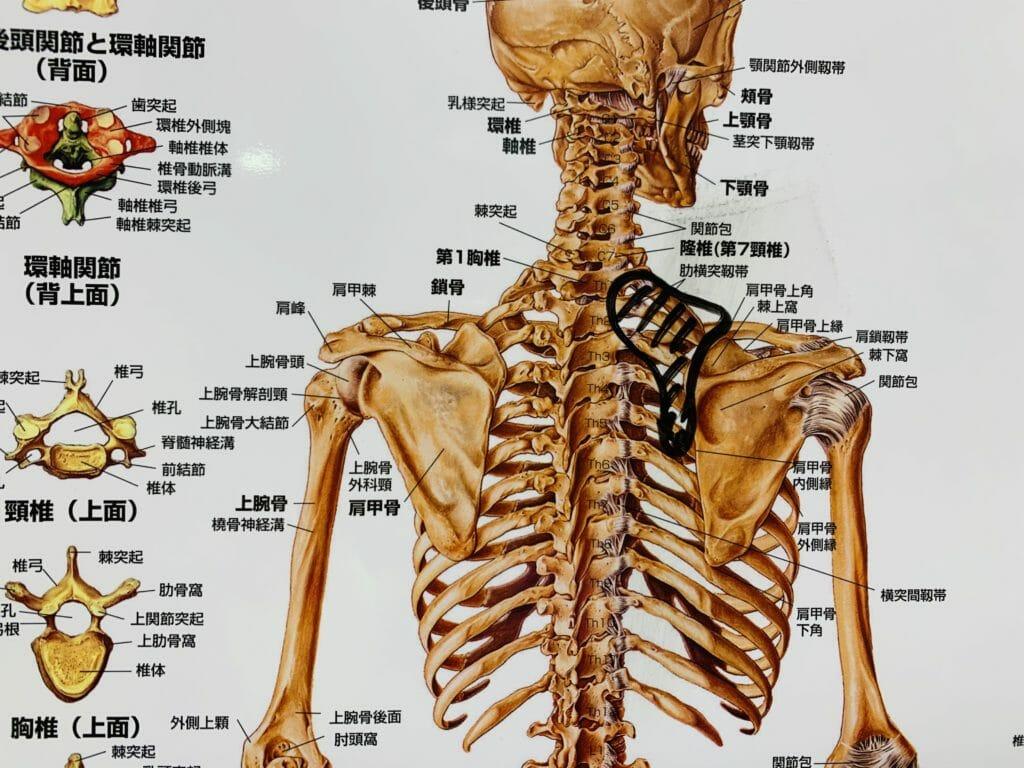 【肩こり解消マッサージ】肩甲骨内側のトリガーポイントマッサージ