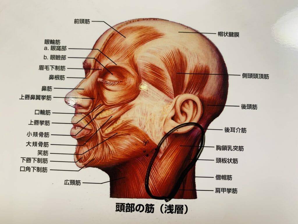 首の筋肉、胸鎖乳突筋