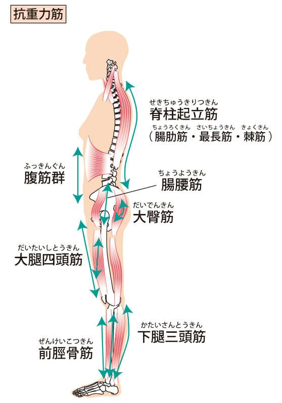 姿勢を支える抗重力筋