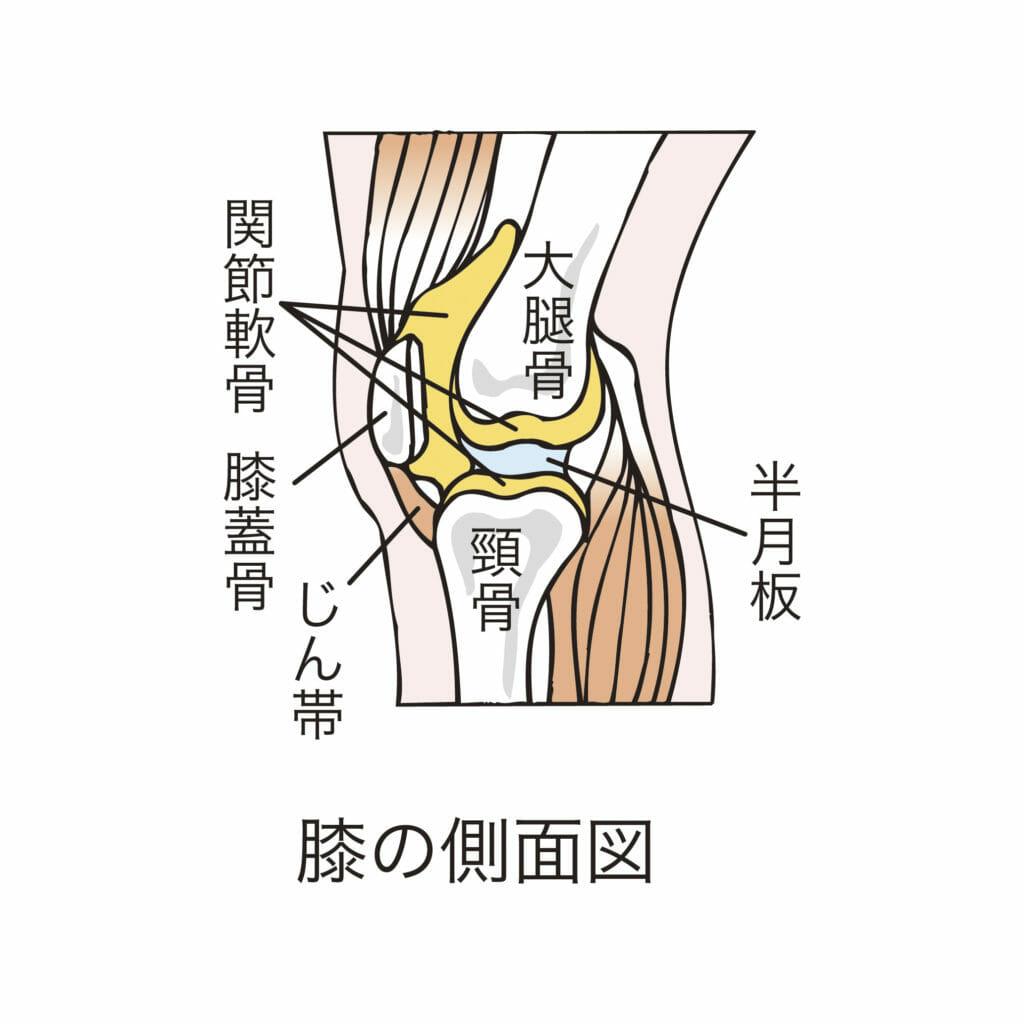 膝の構造と関節の動き