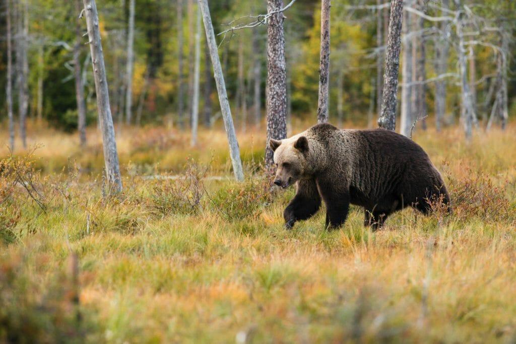 クマに出くわすと、ストレスで筋肉が緊張する