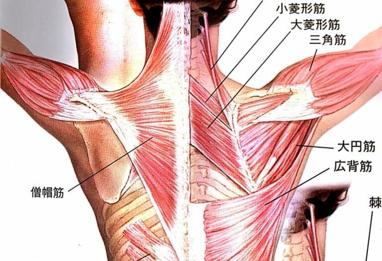 僧帽筋の筋トレとストレッチ方法をご紹介|肩こり解消のための筋トレ